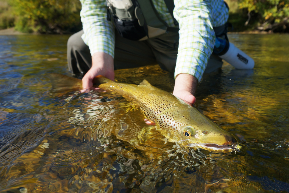 Stephens Large New Zealand Brown Trout