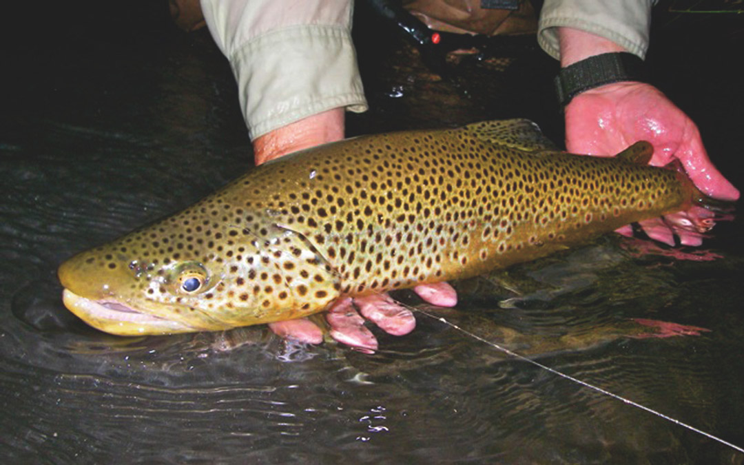 Big Brown Trout at Night