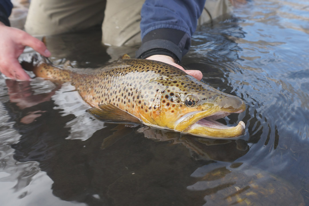 How to Catch Big Brown Trout
